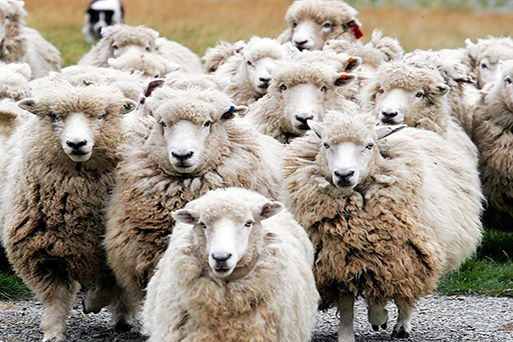 Herd_of_Sheep